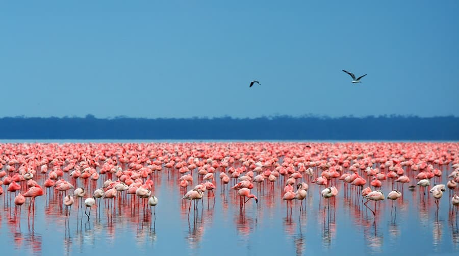 africa_kenya_lake_nakuru_gallery_flamingos
